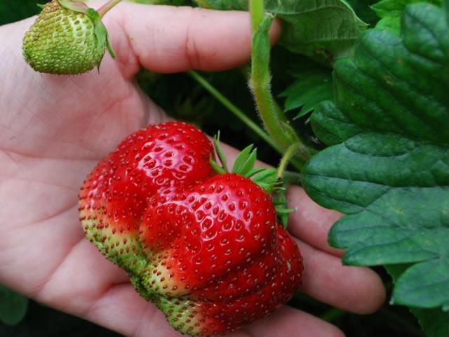 Крупная ягода клубники Вима Тарда