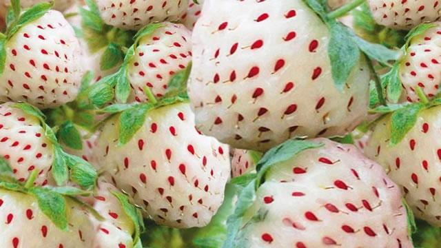 Белые ягоды клубники сорт Пайнберри