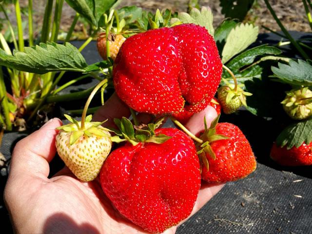 Крупные ягоды клубника сорт Априка