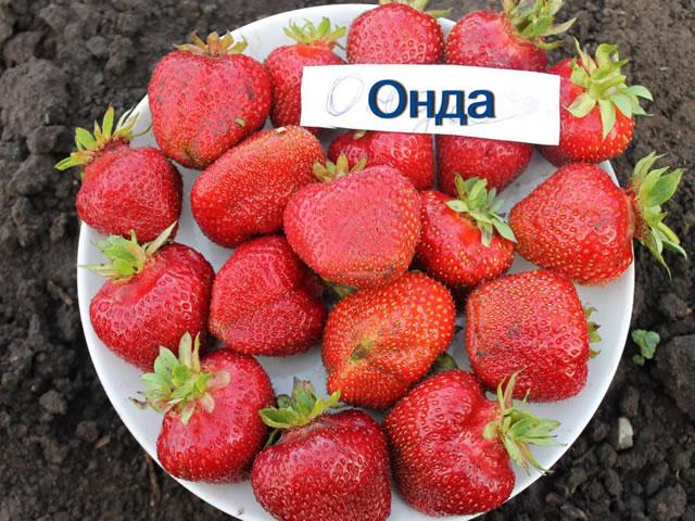 Крупные ягоды клубники сорт Онда