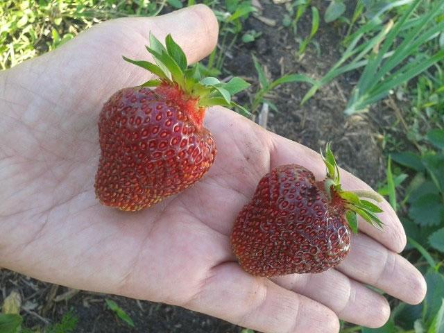 Крупные ягоды садовой земляники Рубиновый кулон на ладони