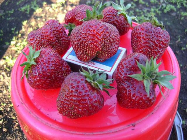 Крупные плоды клубники Рубиновый гигант