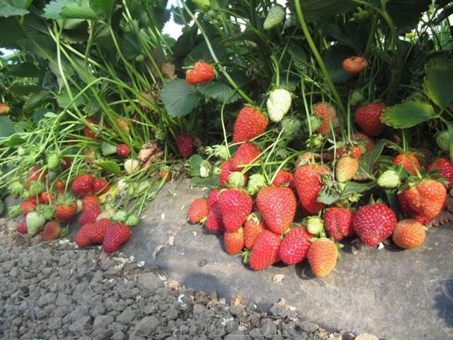 Плодоносящий куст садовой земляники Сан Андреас