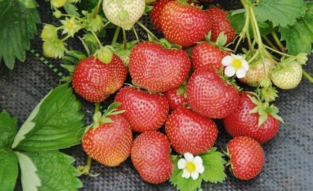 Крупные ягоды садовой земляники Сударушка