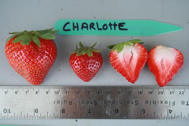 Ягоды ремонтантного сорта садовой земляники Шарлотта