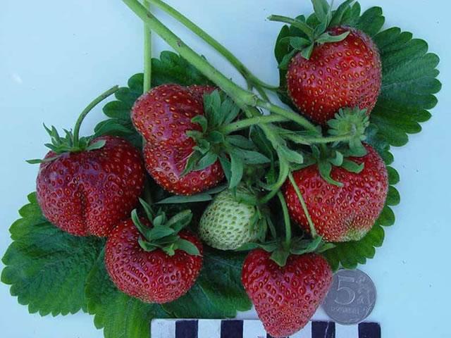 Веточка с ягодами клубники Боровицкая