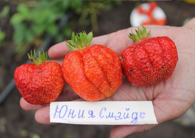 Плоды раннего сорта клубники Юния смайдс