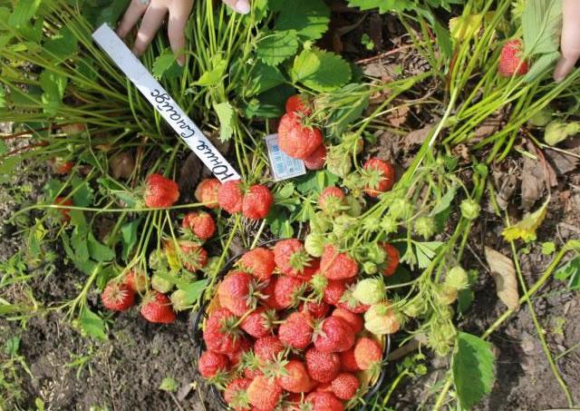 Плодоносящие кусты садовой земляники Юния смайдс