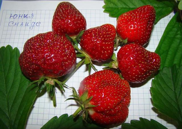 Крупные ягоды садовой земляники Юния смайдс
