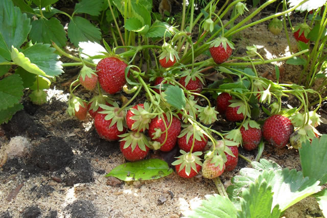 Плодоносящий куст садовой земляники Мара де буа