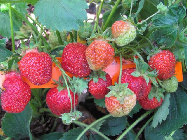Плодоношение садовой земляники Фестивальная ромашка