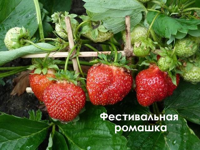 Плодоносящий куст садовой земляники Фестивальная ромашка