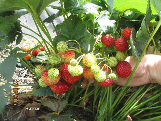 Плодоносящий куст садовой земляники Витязь