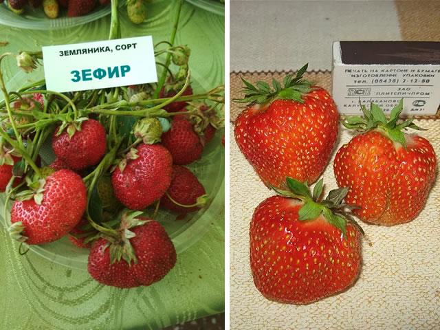 Крупные плоды садовой земляники Зефир