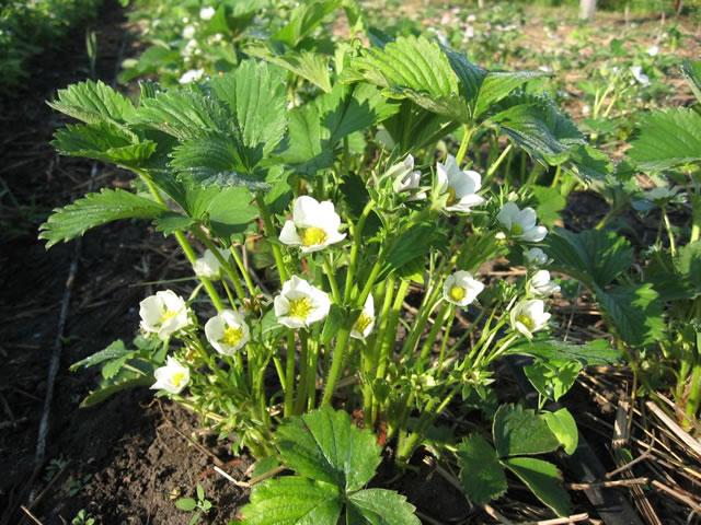 Цветущий куст садовой земляники Элан