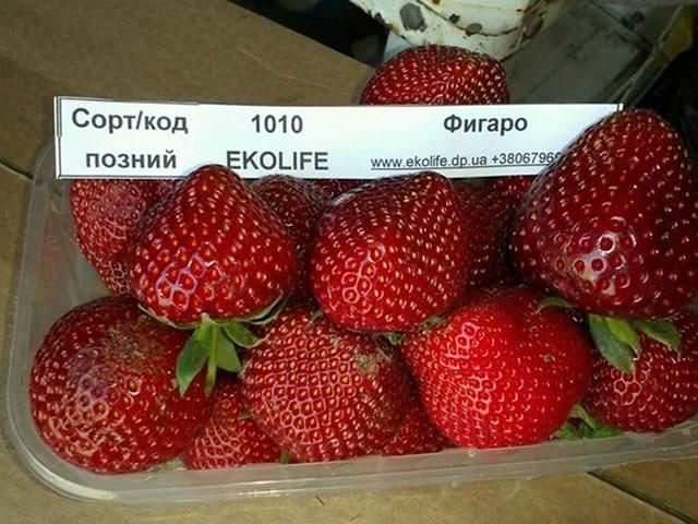 Урожай клубники сорт Фигаро