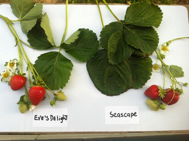 Листья, ягоды, цветы садовой земляники Эвис делайт