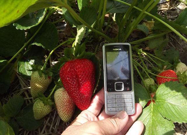 Крупная ягода клубники Свит Энн