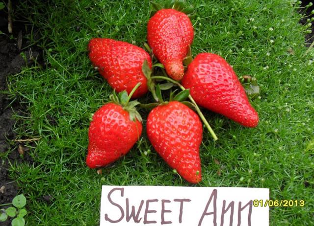 Крупные ягоды клубники Сладкая Анна