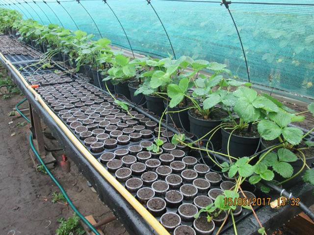 Размножение садовой земляники Альтесс усами