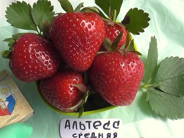 Крупные ягоды садовой земляники Альтесс
