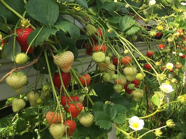 Плодоносящие кусты клубники Альтесс