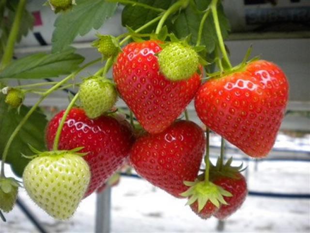 Плодовая веточка клубники Фенелла