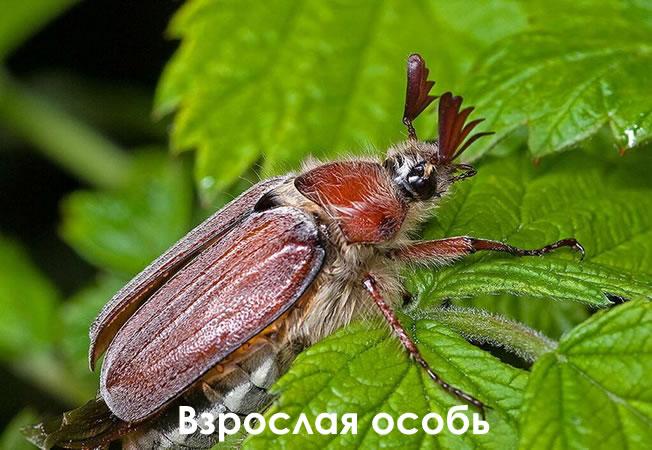 Взрослая особь майского жука