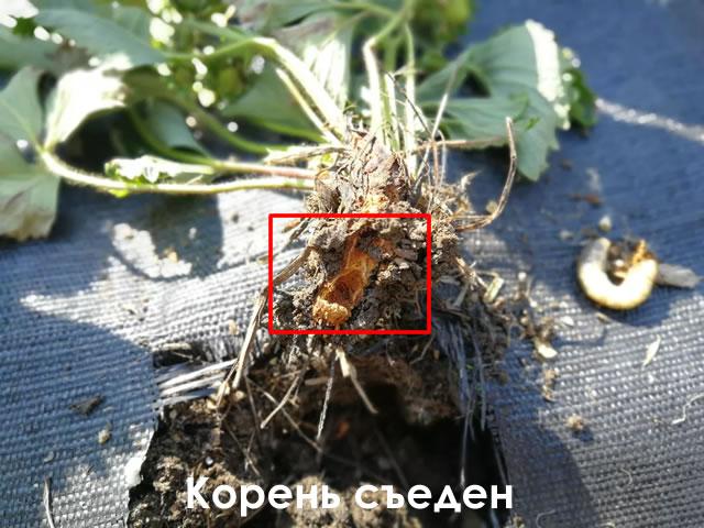 Признак поражения личинкой майского жука - корень съеден