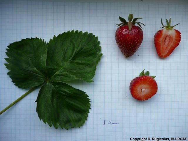 Ягоды и лист клубники Ирма