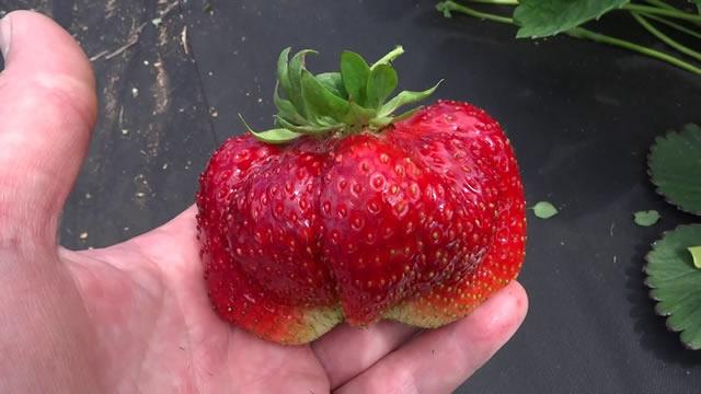 Крупная ягода сорта Камрад победитель