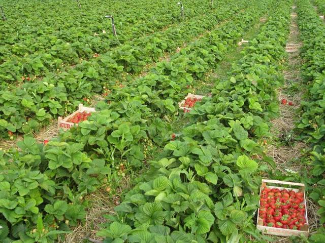 Плантация садовой земляники Камрад победитель
