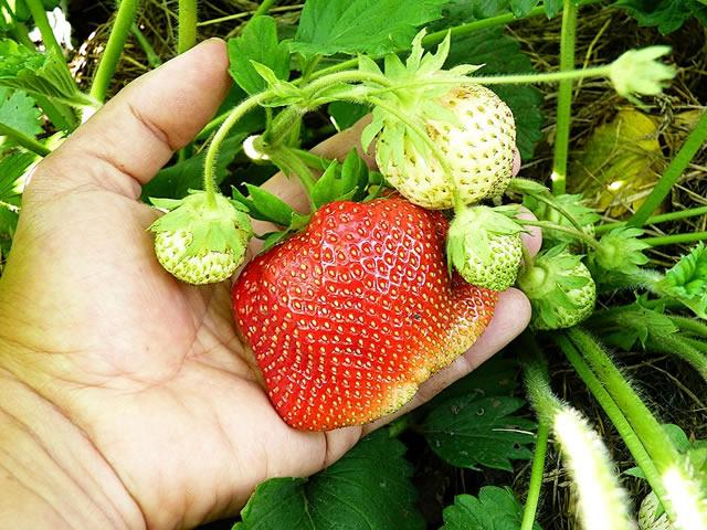 Крупный плод клубники сорт Камрад победитель
