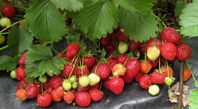 Плодоносящий куст садовой земляники Кент