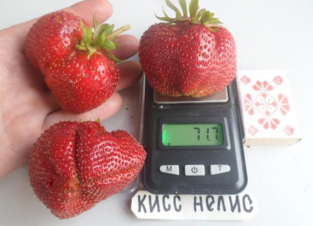 Крупные ягоды садовой земляники Кисс Неллис на весах
