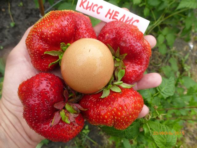 Крупные ягоды клубники Кисс Неллис