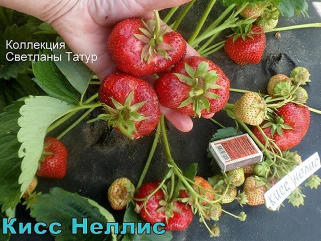 Плодоносящий куст клубники Кисс Неллис