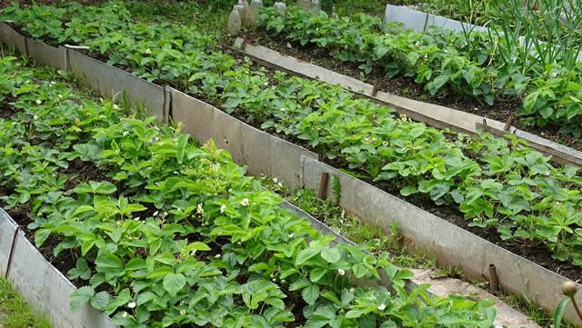 Выращивание клубники на высоких грядках