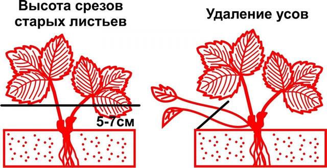 Обрезка листьев и удаление усов на клубнике