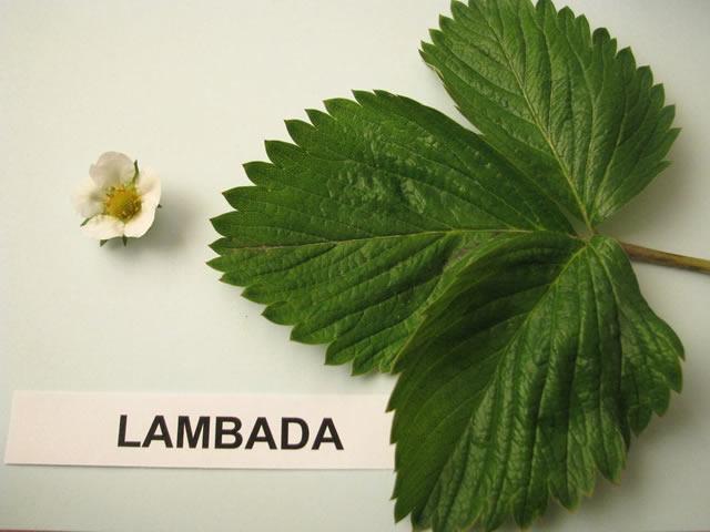 Листья и цветы садовой земляники Ламбада