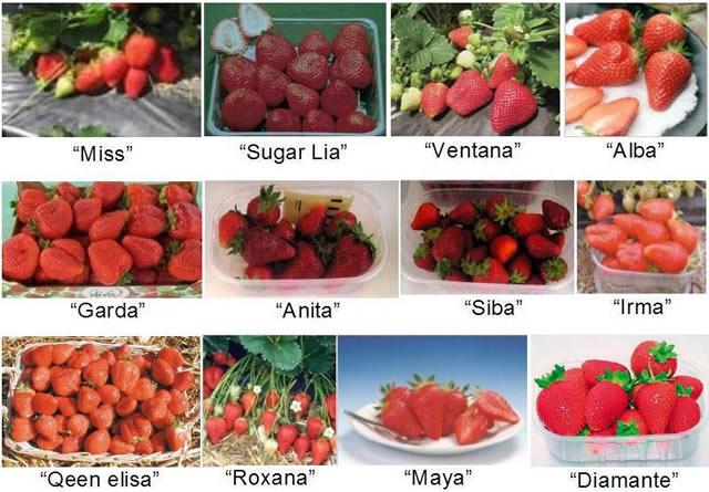 Ягоды различных сортов клубники