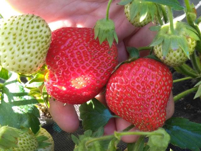 Крупные плоды клубники Лия сахарная