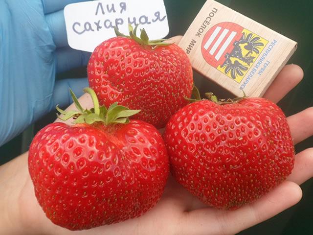 Крупные плоды садовой земляники Лия сахарная
