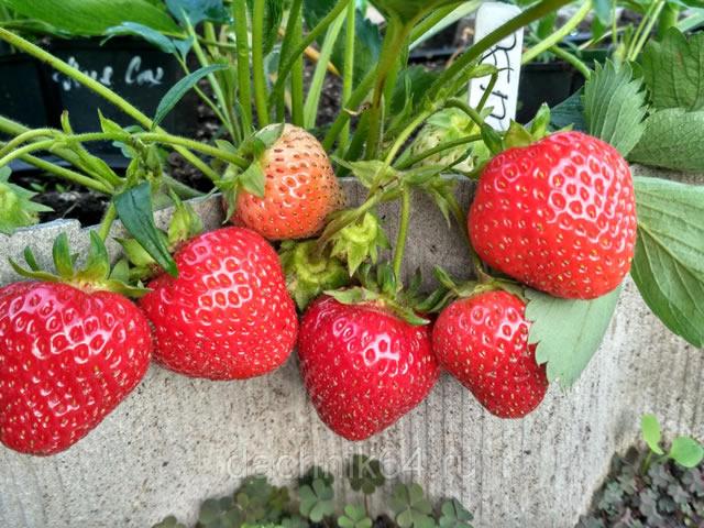 Плодоносящий куст клубники Лия Сахарная