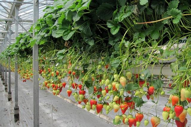 Плодоносящие кусты клубники Моллинг 100