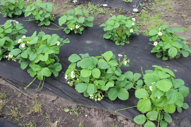Выращивание клубники Марышка на агроволокне