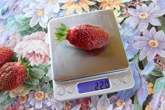 Крупная ягода клубники Марышка