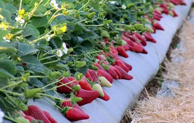 Плодоносящие кусты клубники Марисоль