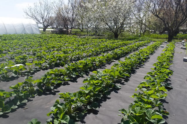 Большая плантация с клубникой сорт Марисоль