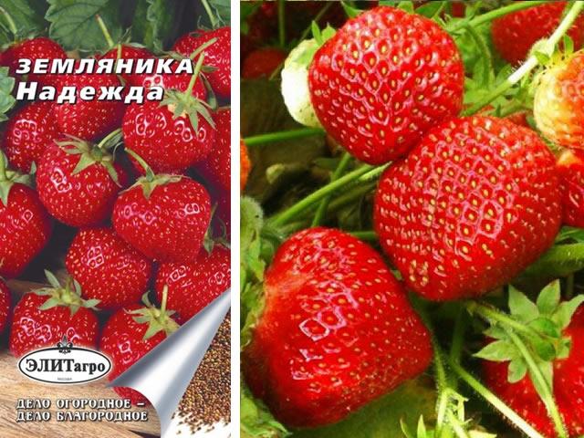 Семена и ягоды клубники Надежды